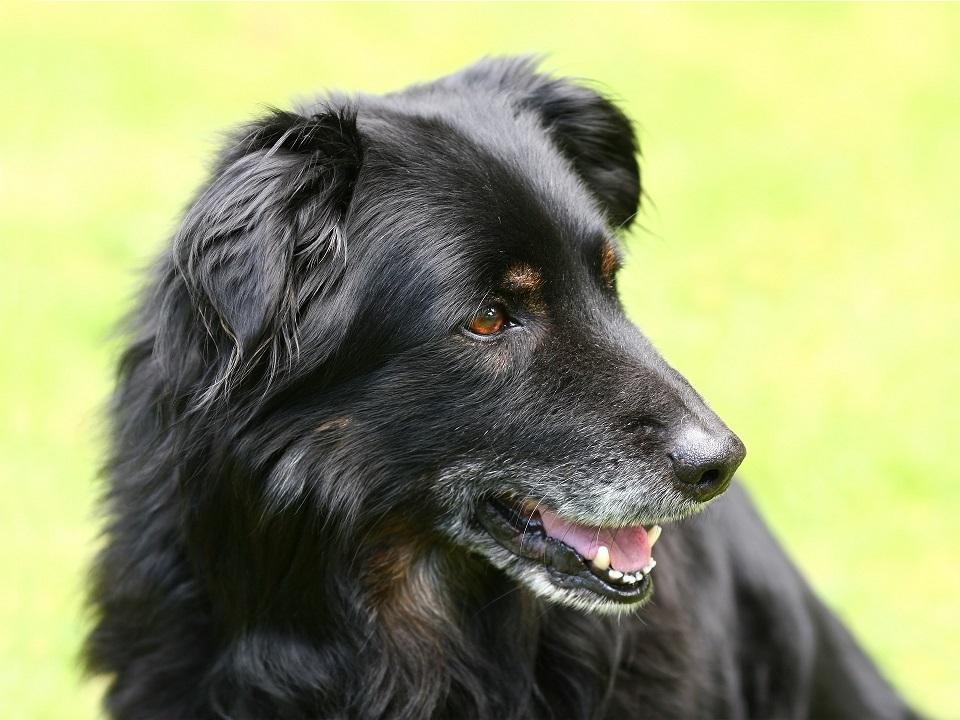 Siwiejący stary pies